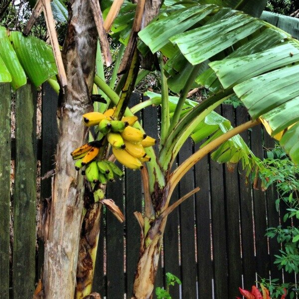 backyard bananas