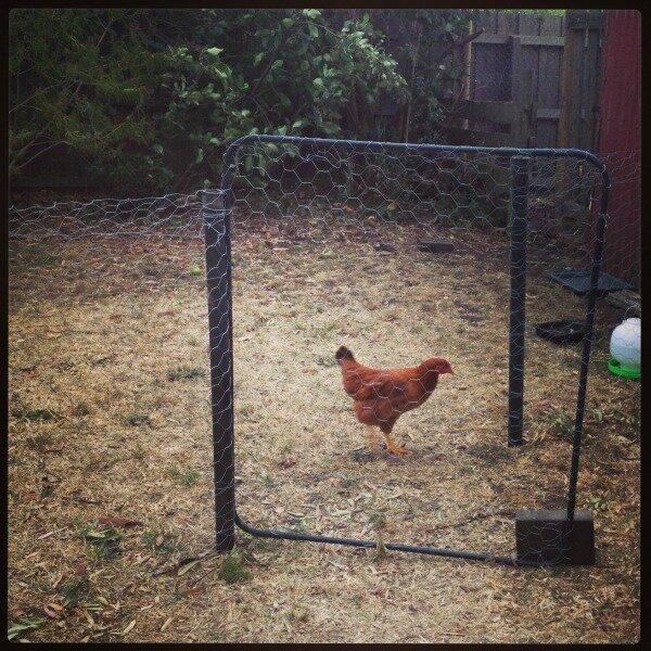 rouge chicken