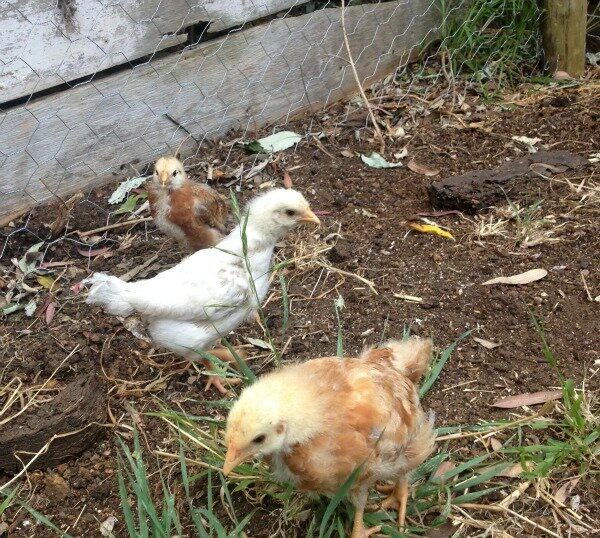 teenage chickens