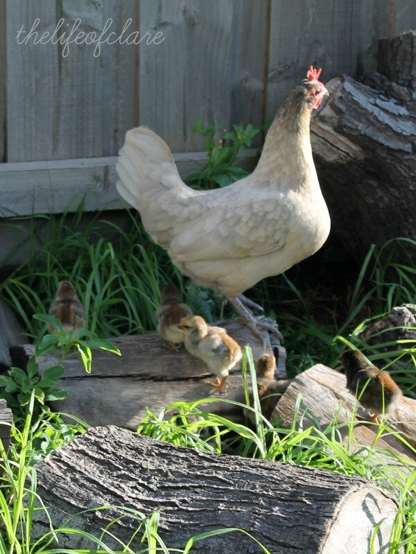 Chickens and mum