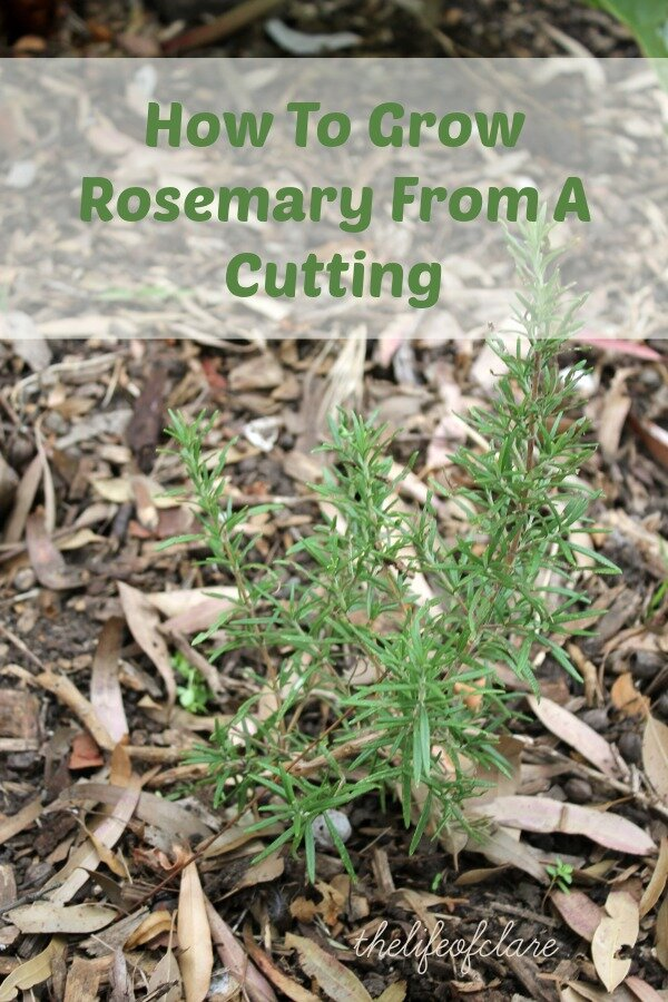 Growing Rosemary From A Cutting