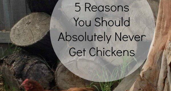 Reasons Not to get chickens