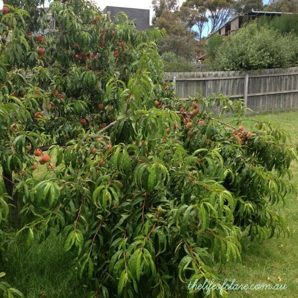 fruiting peach tree