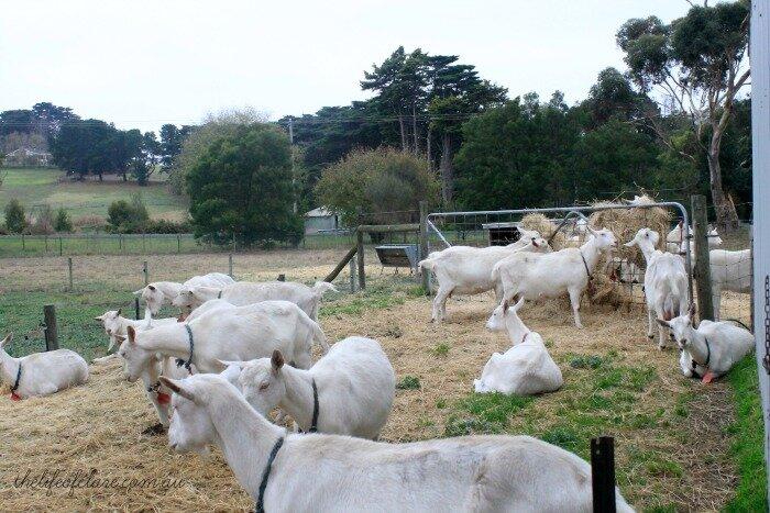 Drysdale Goat Farm