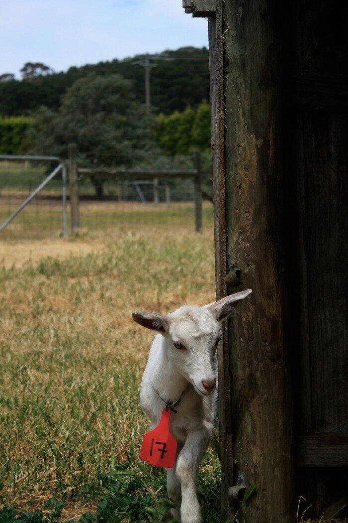number 17 goat