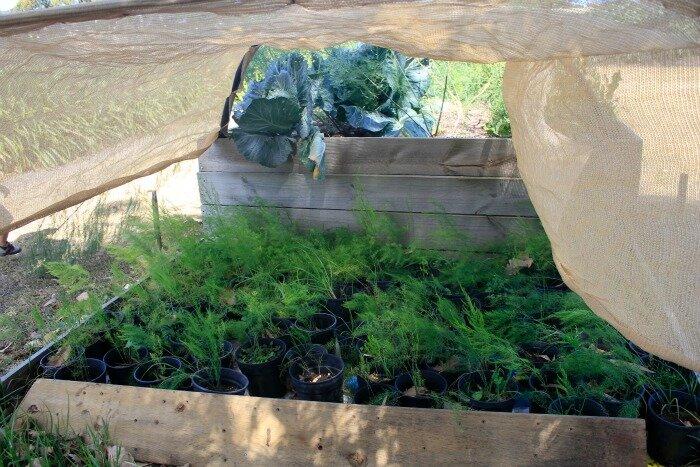 baby asparagus plants