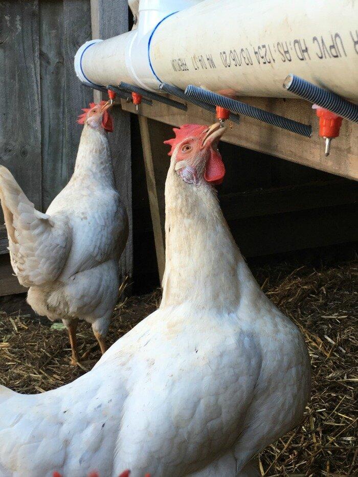 chicken nipple drip feeder